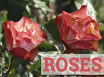 RoseswebCAT