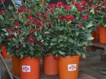 Roses St Jordi web