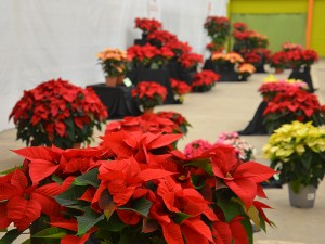 Expo poinsettia2
