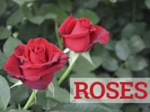 Roses web 2016 CAT