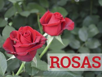 sant jordi fortaleciendo la cultura de la rosa mercat