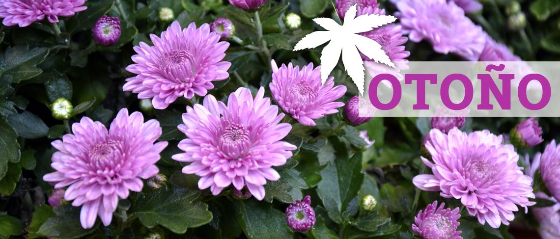Crisantemos, ciclamen, pensamiento... es el otoño!